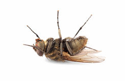 Dead house fly Royalty Free Stock Image