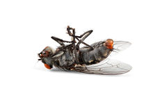 Dead house fly Stock Photography