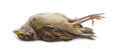 Dead House Sparrow Royalty Free Stock Photos