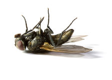 Dead Housefly. Isolated in White Royalty Free Stock Photography