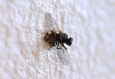 Dead housefly on the wall stock photography