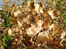 Dead hydrangea. Leaves in autumn Royalty Free Stock Photography