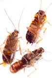 Dead insect cockroach bug Royalty Free Stock Photo