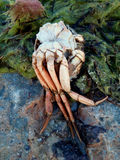 Dead inverted crab Royalty Free Stock Photography