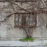 Dead Ivy on abandon building Stock Image