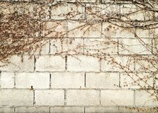 Dead Ivy. On the wall Royalty Free Stock Images