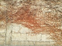 Dead Ivy. On wall Stock Photography