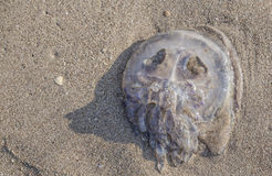 Dead jellyfish on sand Royalty Free Stock Photo