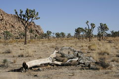 Dead Joshua Tree. A dead Joshua Tree laying on the ground in Joshua Tree National Park royalty free stock images