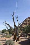 Dead Juniper and Contrail Royalty Free Stock Photography