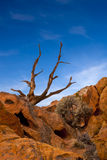 Dead Juniper Tree Royalty Free Stock Images