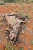 Dead kudu antelope. Big male kudu antelope Tragelaphus strepsiceros that died of drought, South Africa Royalty Free Stock Photos
