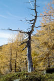 Dead larch tree in a forest Royalty Free Stock Photography