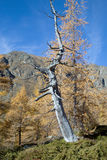 Dead larch tree in mountain forest Royalty Free Stock Photography