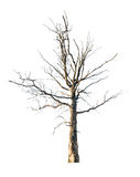 Dead large oak tree isolated on white Stock Photography