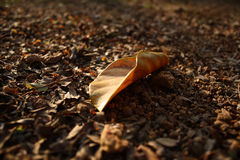 A dead leaf. Fallen on ground Royalty Free Stock Photo