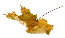 Dead leaf Stock Image