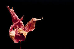 Dead leaf. A red dead leaf on black background Royalty Free Stock Photo