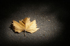 Dead leaf. A single dead leaf laying on black asphalt in a beam of light royalty free stock image