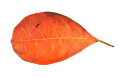 Free Dead Leaf Stock Photos - 96440233