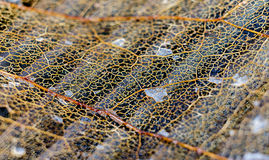 Dead Leaf Abstract Close Up Royalty Free Stock Images