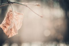 Dead leaf on the background of a winter forest. Dead leaf on a branch against a winter forest background Royalty Free Stock Photos