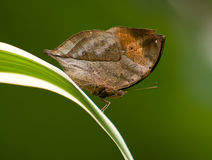 Dead Leaf Butterfly Stock Images