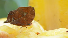 Dead Leaf Butterfly. (Kallima inachus stock footage