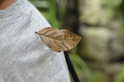 Dead leaf butterfly, Kallima inachus 16 August 2017 16:25 Stock Image