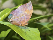 Dead leaf butterfly,Kallima inachus Stock Photography