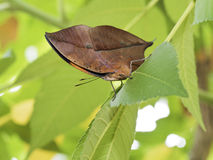 Dead leaf butterfly,Kallima inachus Stock Image
