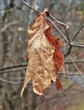 Dead Leaf Clings to Branch. A curled, dried, dead leaf clings to the broken end of a tree branch Royalty Free Stock Photos