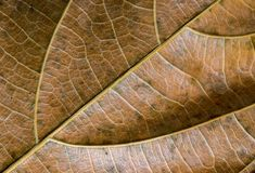 Dead leaf closeup. Autumn leaf texture macro photo. Yellow leaf vein pattern. Royalty Free Stock Images