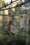 Dead Leaf. Dea Leaf hanging in the woods Stock Photos