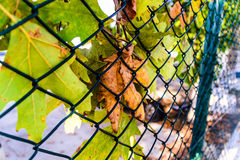 Dead Leaf Among Drying Leaves Behind The Fence Stock Photo