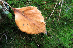 Dead leaf on green moss Royalty Free Stock Photography