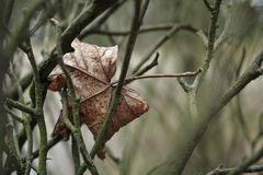 Dead leaf hanging sadly Royalty Free Stock Photos