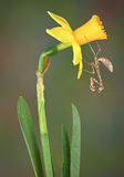 Dead leaf mantis on daffodil Royalty Free Stock Image
