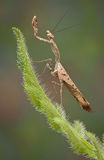 Dead leaf mantis female Stock Photo