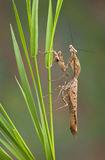 Dead leaf mantis on grass Stock Images