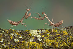 Dead leaf mantis play Stock Image