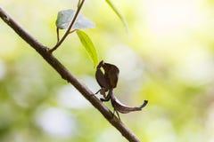 Dead leaf mantis silhouette in Ranomafana, Madagascar Stock Image