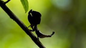 Dead leaf mantis silhouette in Ranomafana, Madagascar Royalty Free Stock Photo