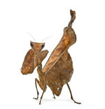 Dead leaf mantises - Acanthops Sp - Stock Photo