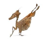 Dead leaf mantises - Acanthops Sp - Stock Image
