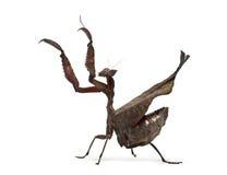 Dead leaf mantises - Acanthops Sp - Royalty Free Stock Photo