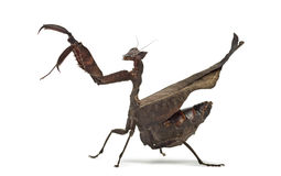 Dead leaf mantises - Acanthops Sp - Royalty Free Stock Images
