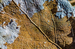 Dead leaf. Old dead leaf color Brown veins structure spring autumn Royalty Free Stock Photos