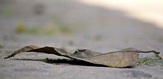 A dead leaf of a tree on sand Royalty Free Stock Images
