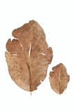 Dead leaf in white Royalty Free Stock Photos